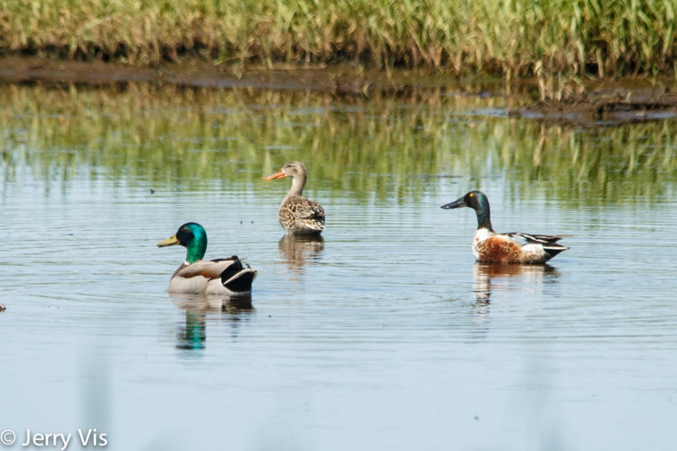 Male mallard and northern shovelers