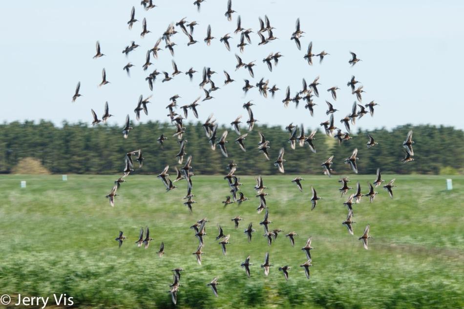 A flock of dunlin in flight