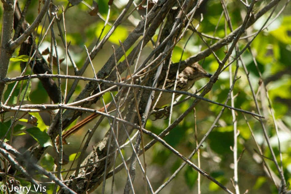 Brown thrasher hiding