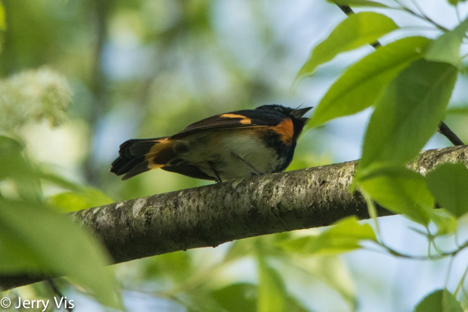 Male American redstart singing