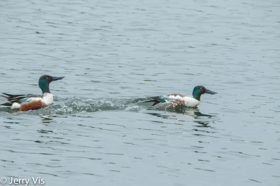 Male northern shovelers fighting