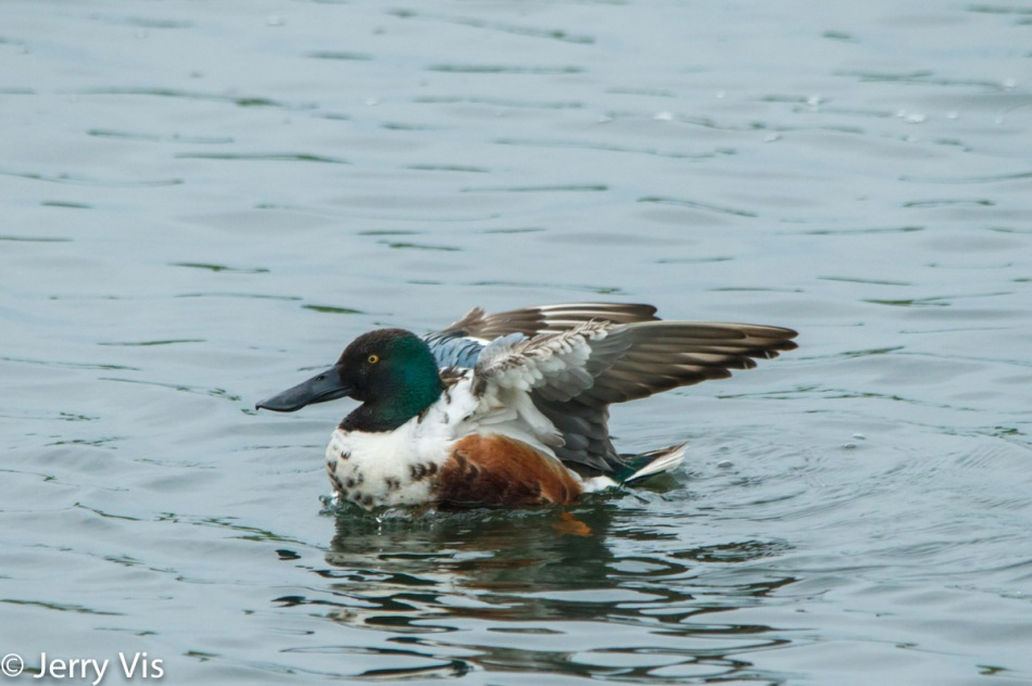 Male northern shoveler declaring victory