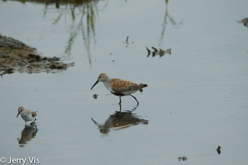 Dunlin and semipalmated sandpiper