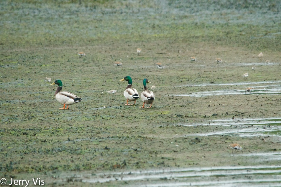Mallards watching assorted shorebirds