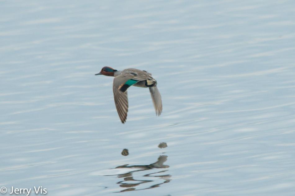 Male green-winged teal in flight