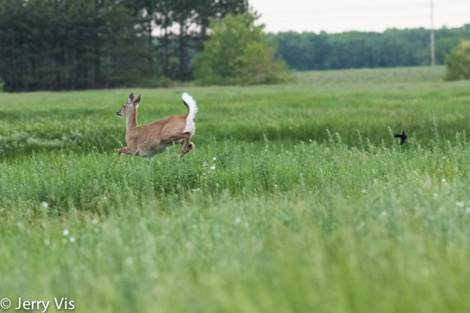 Whitetail deer after being attacked by a red-winged blackbird