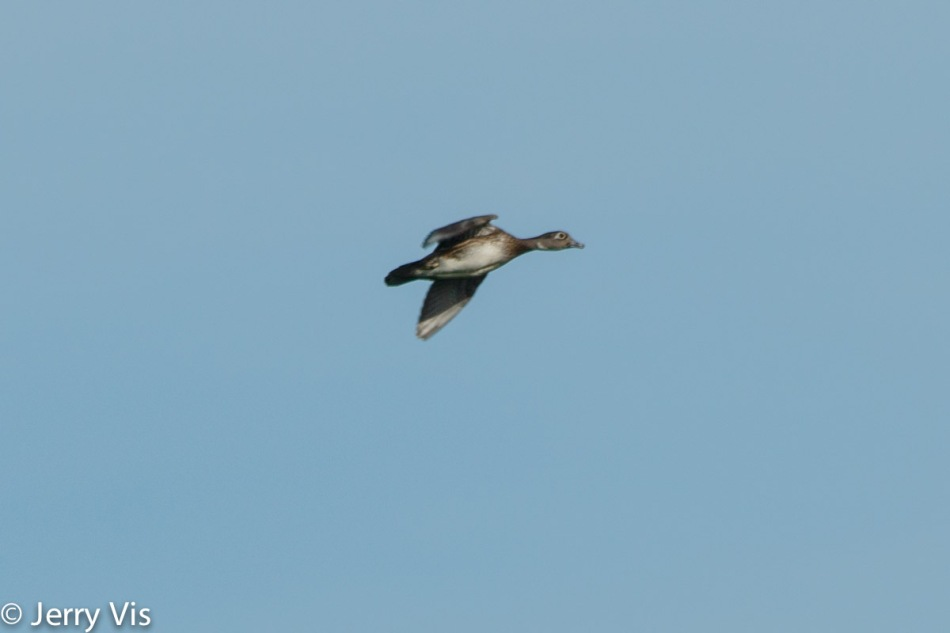 Female wood duck in flight
