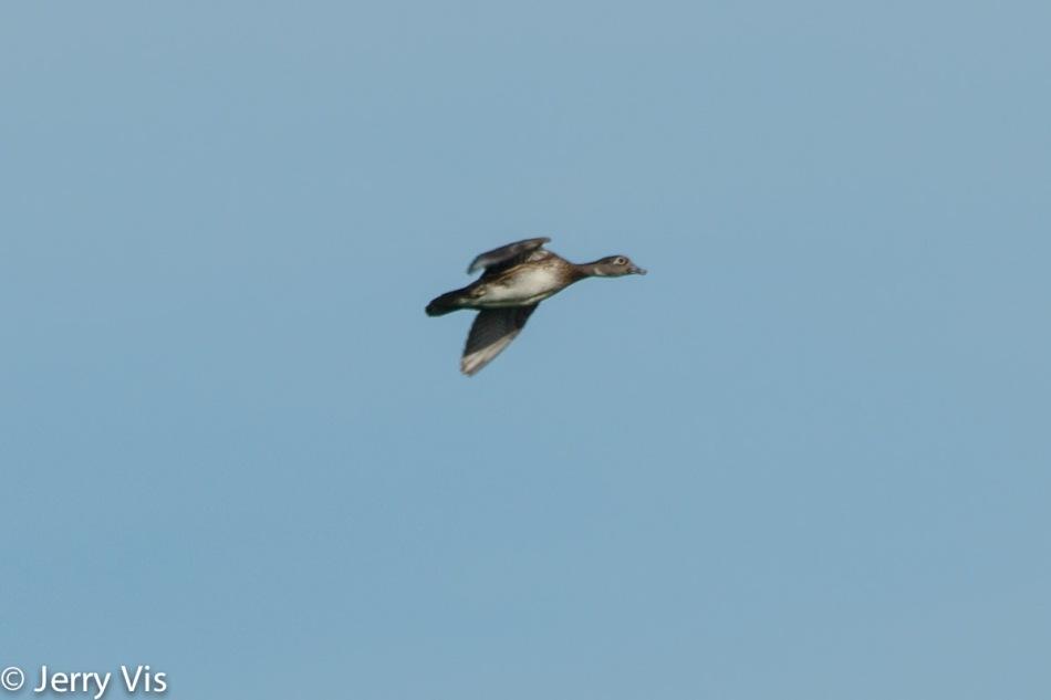 Female wood duck in flight