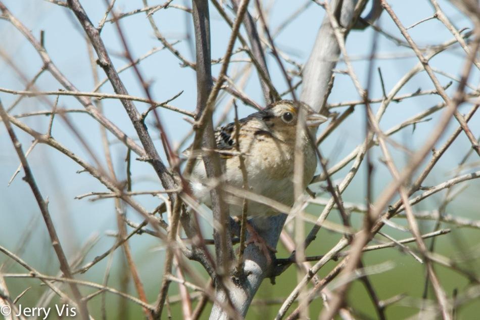 Grasshopper sparrow hiding