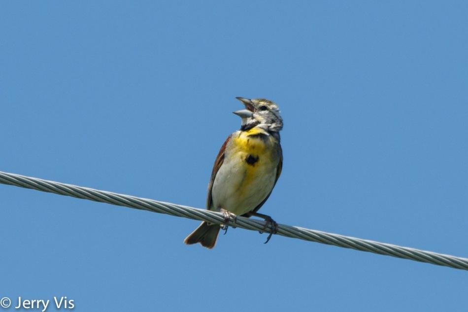 Male dickcissel singing