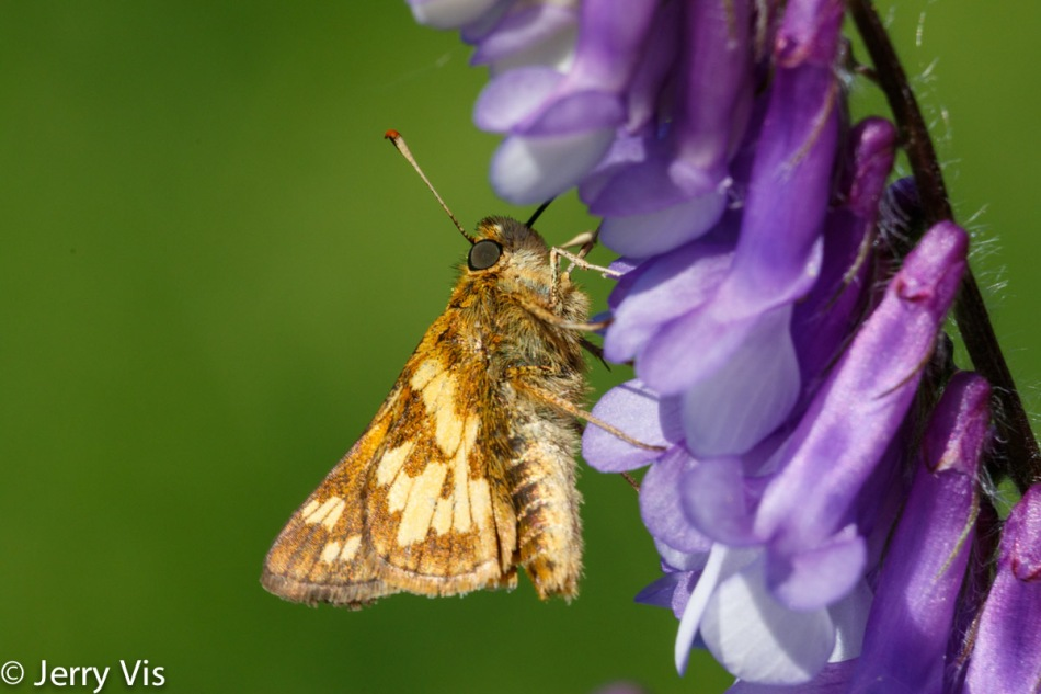 Unidentified fluttering object (Skipper, I believe)