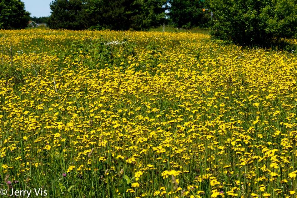 Yellow hawkweed?