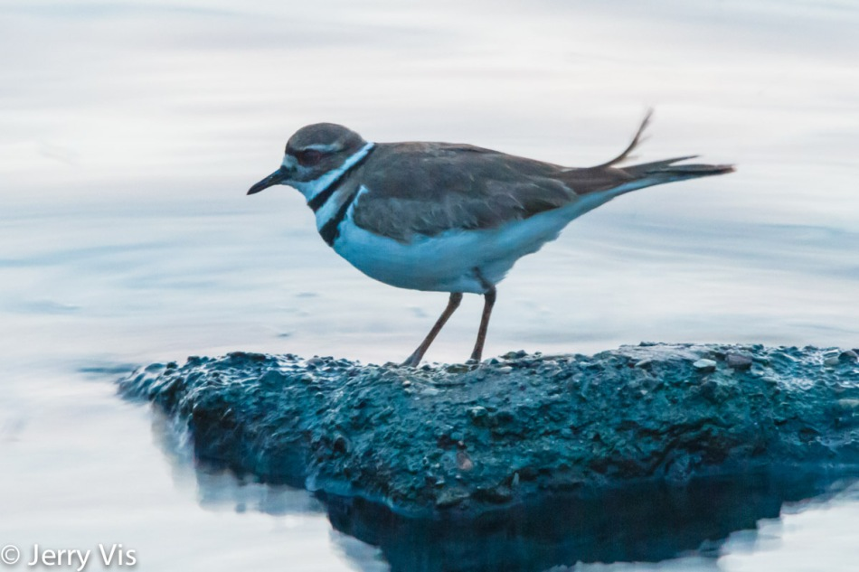 Killdeer before sunrise