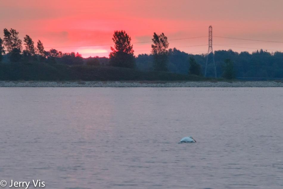 American white pelican at sunrise