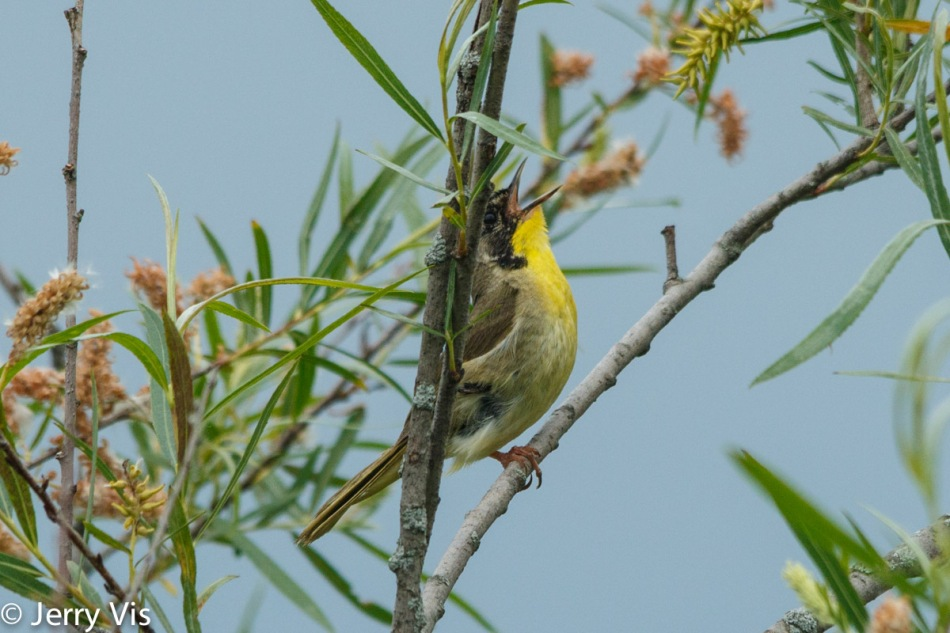 Common yellowthroat singing