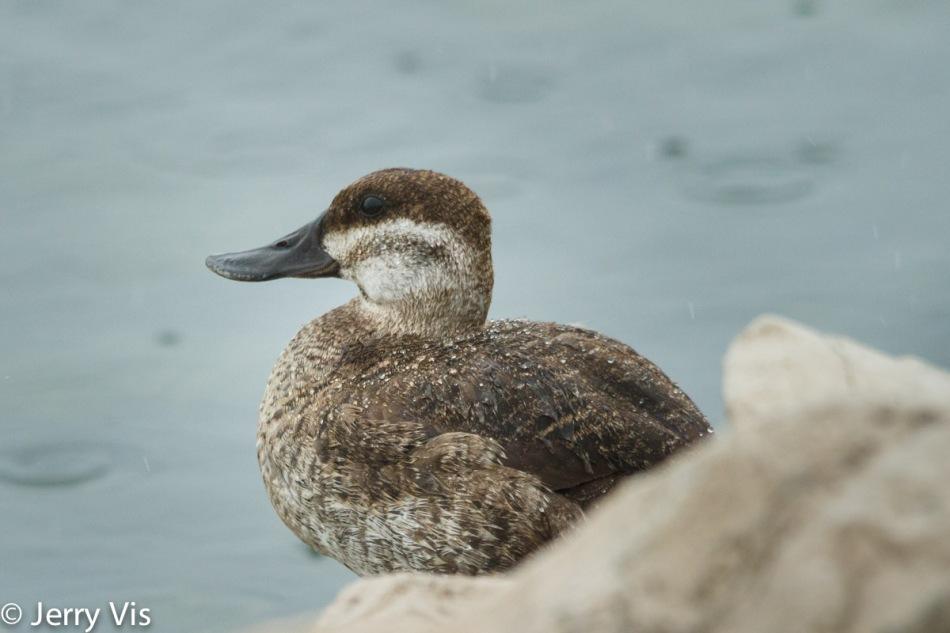 Female ruddy duck in the rain