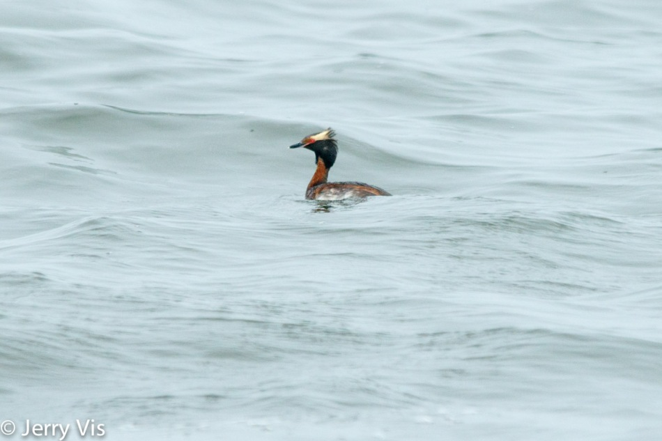 Male red-throated grebe