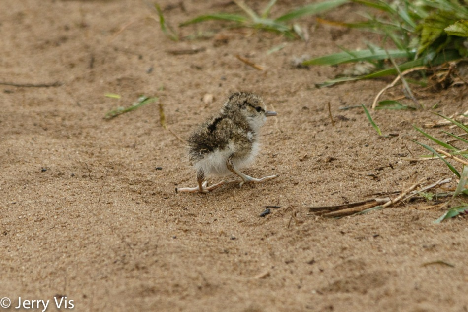 Just hatched spotted sandpiper