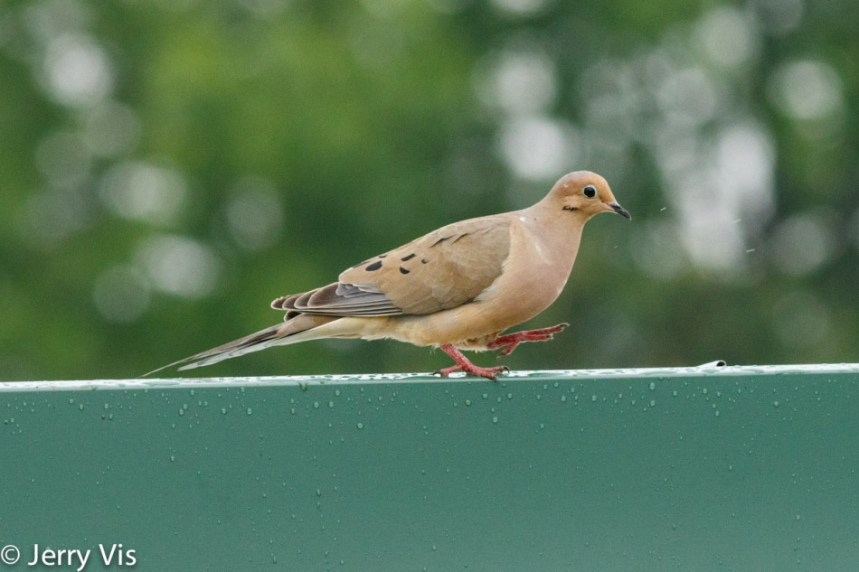 Mourning dove playing in the rain