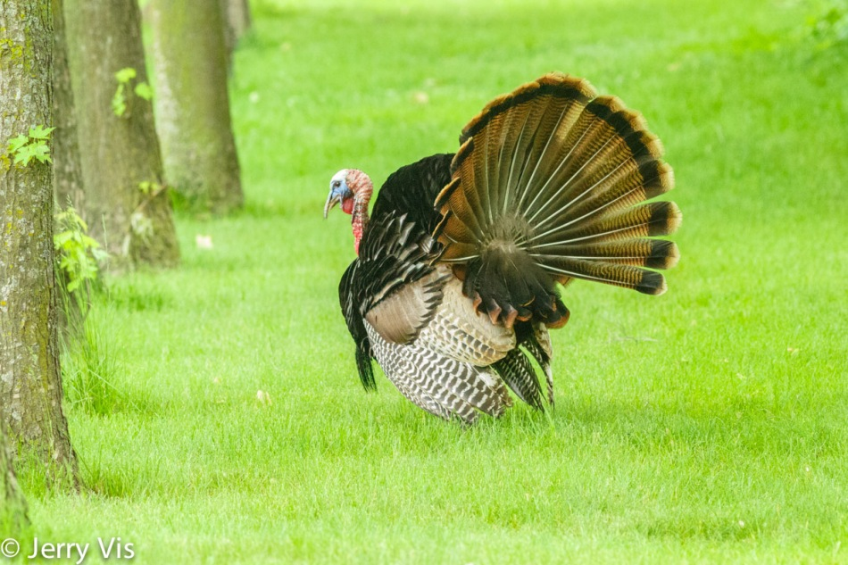 Male turkey displaying for a female