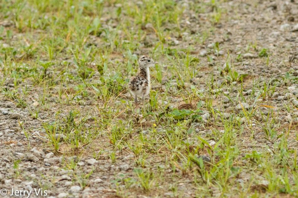 Juvenile upland sandpiper