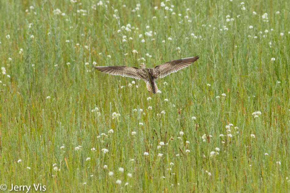 Upland sandpiper in flight