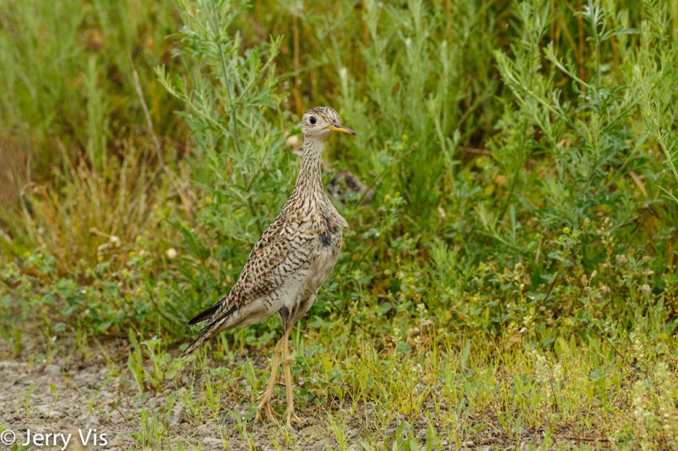 Female upland sandpiper defending her young