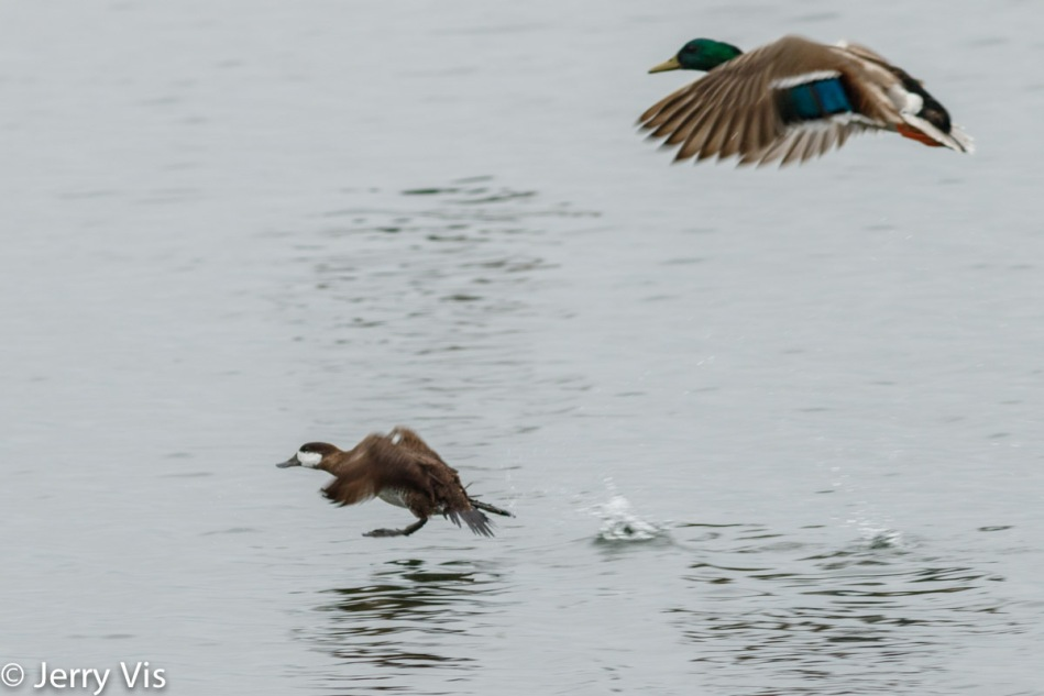 Ruddy duck and male mallard in flight