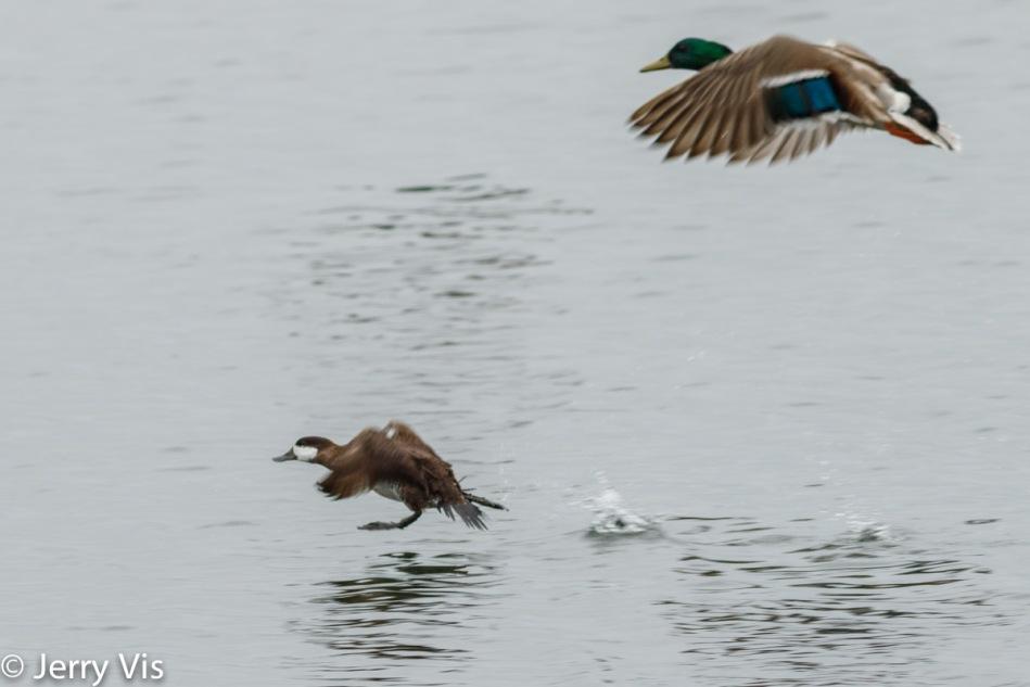 Ruddy duck and male mallard in flight