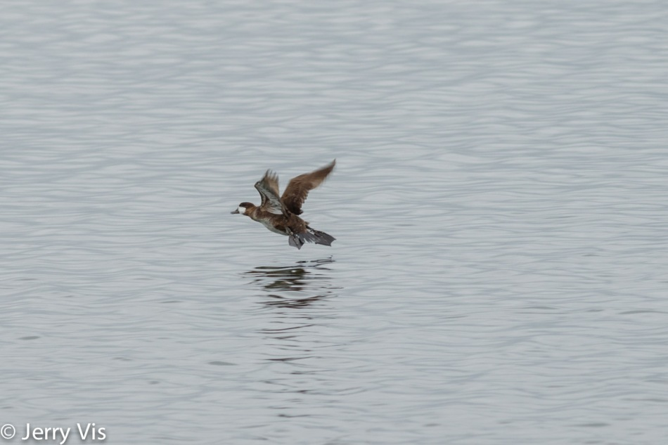 Ruddy duck in flight