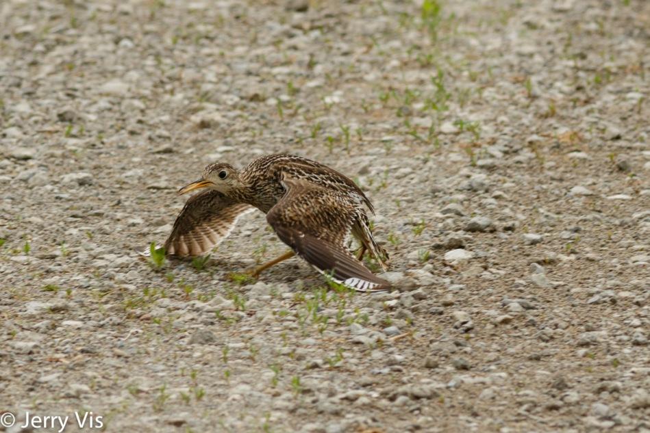 Female upland sandpiper pretending to be injured