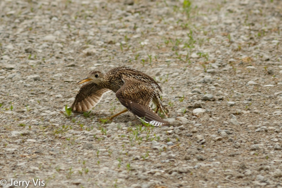 Female upland sandpiper pretending to be injured