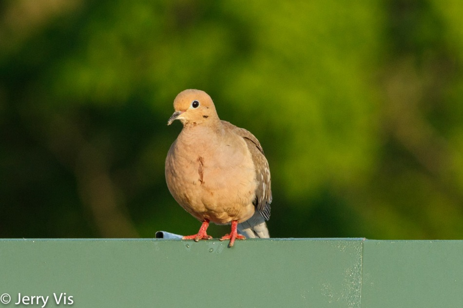 Mourning dove on a sunny morning