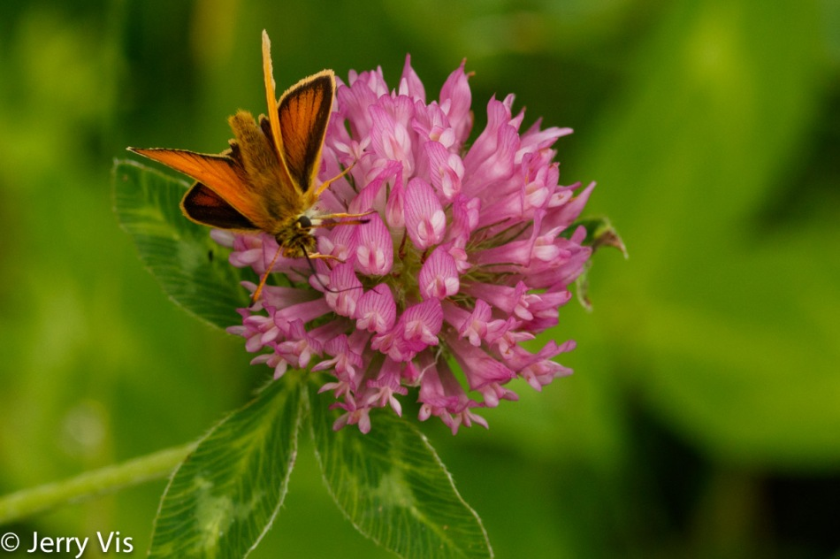 Skipper on red clover