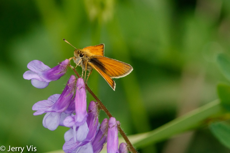 Skipper on vetch