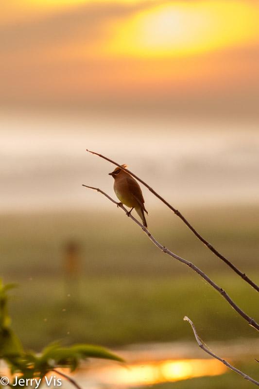 Cedar waxwing at sunrise
