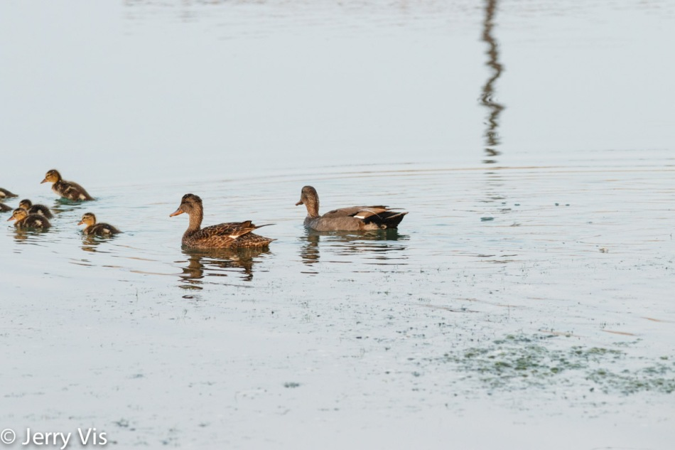 Female mallard, her young, and a gadwall