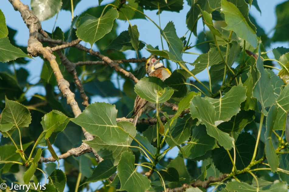 Dickcissel singing