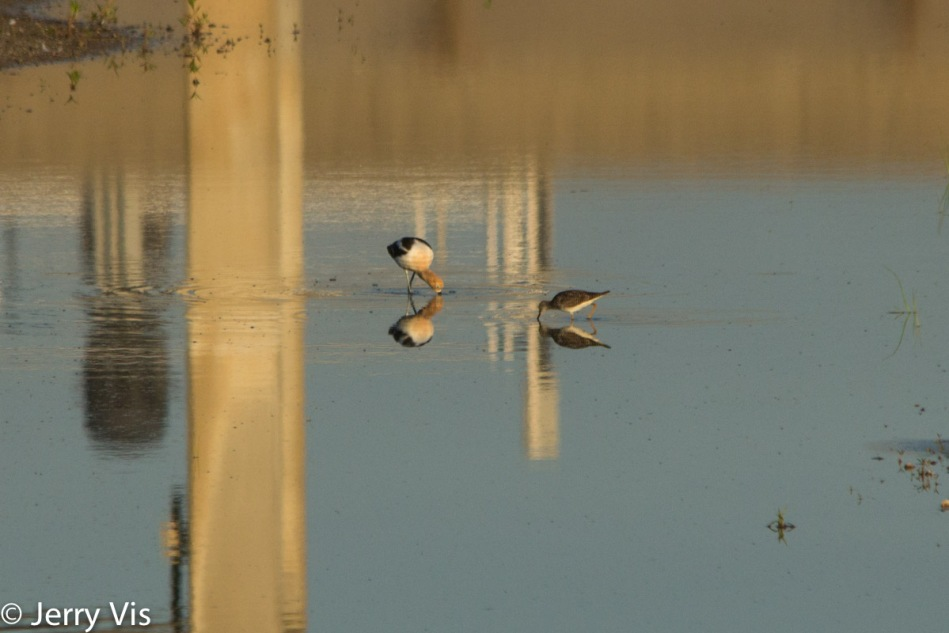American avocet on the left, lesser yellowlegs on the right
