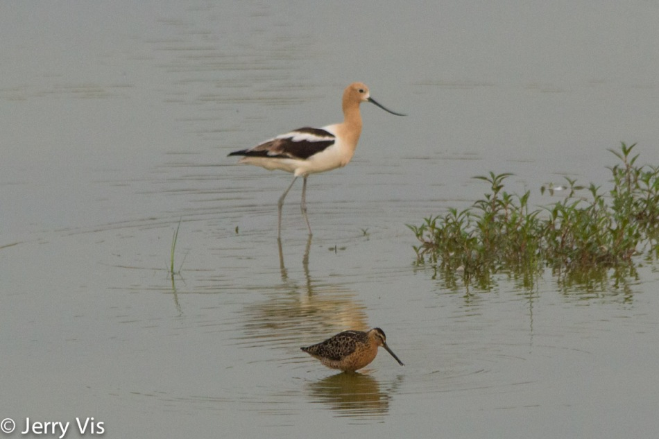 Short billed dowitcher and American avocet