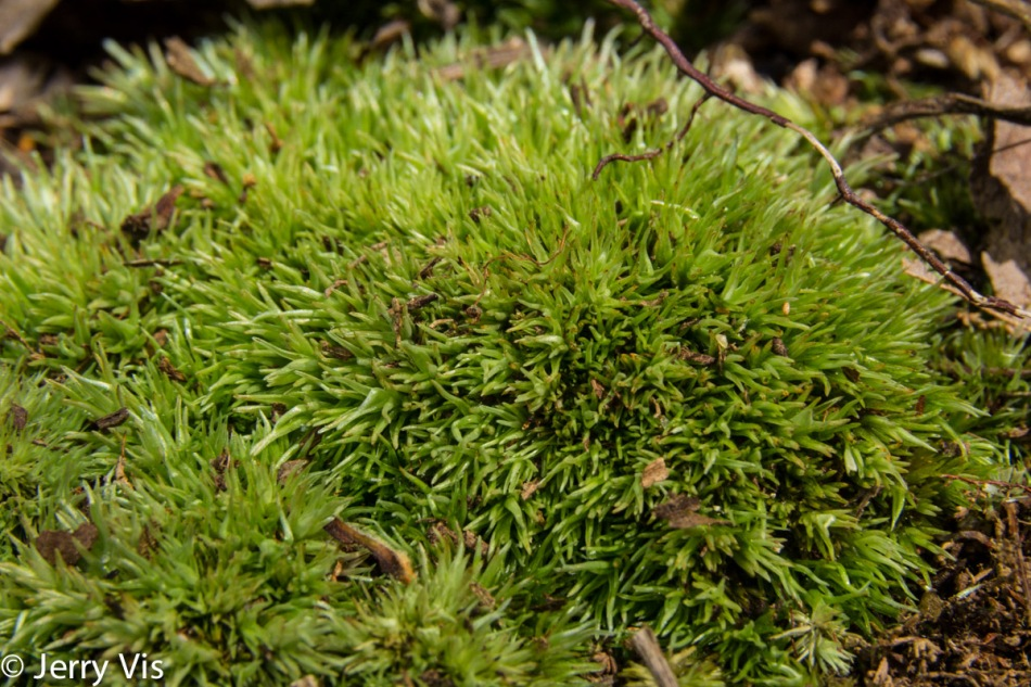 Pincushion moss?