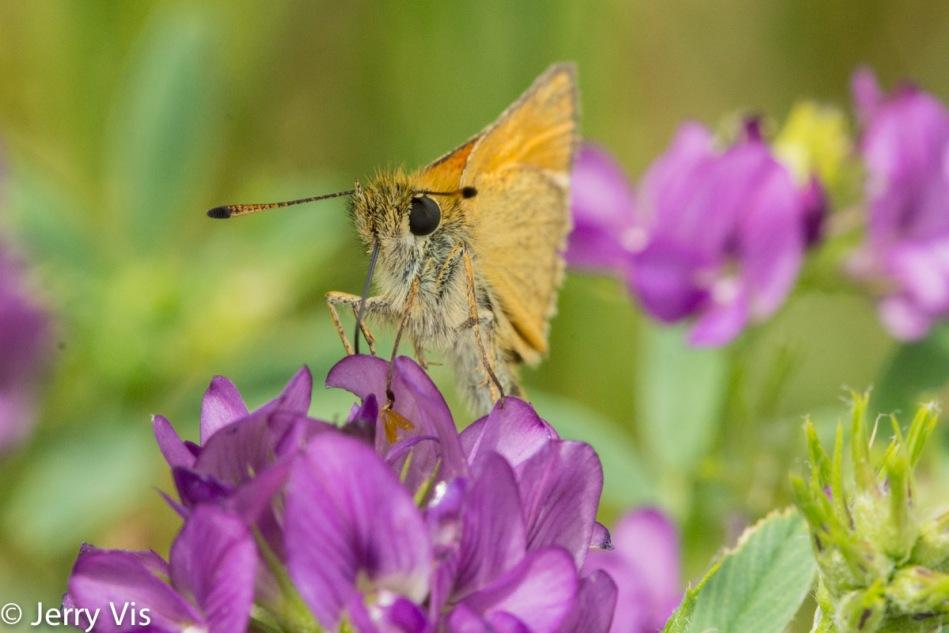 Unidentified butterfly on alfalfa