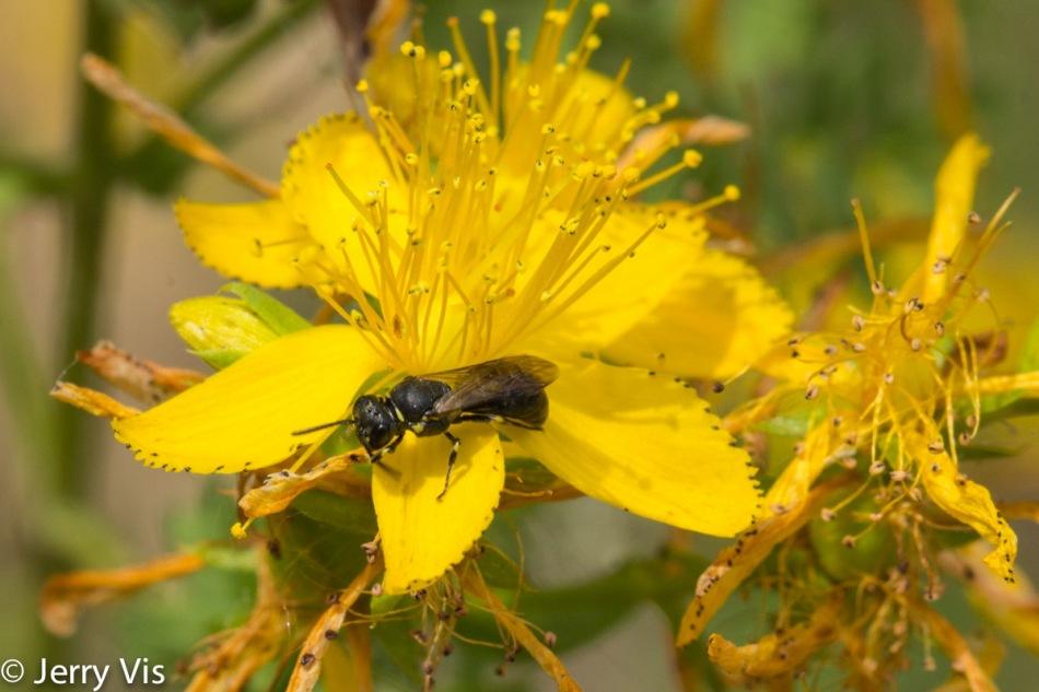 Unidentified bee on St. John's wort