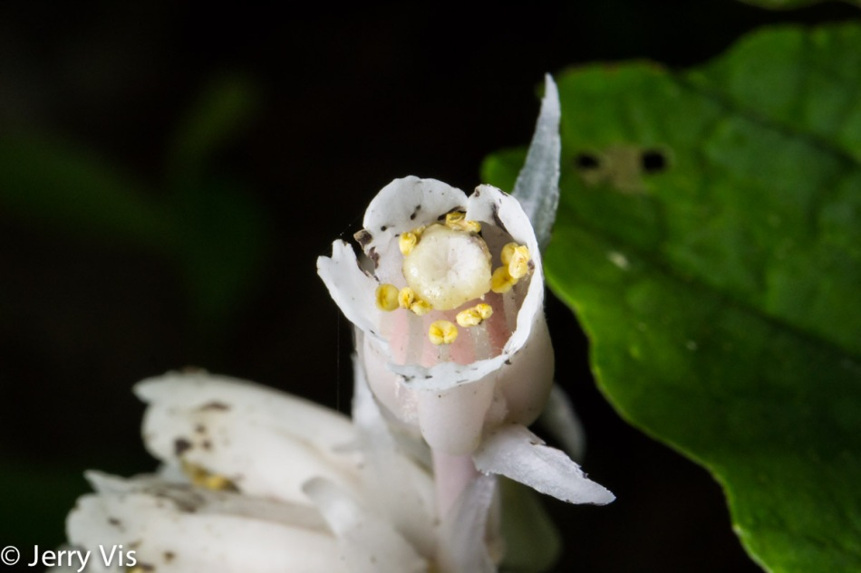 Indian pipe flower