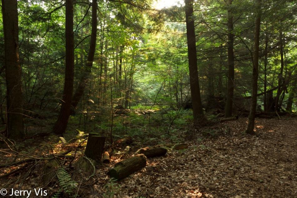 Hemlock and cedar swamp