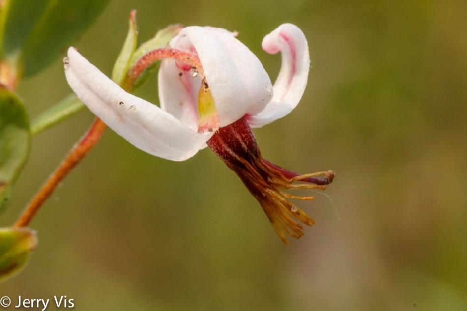 Cranberry flower?
