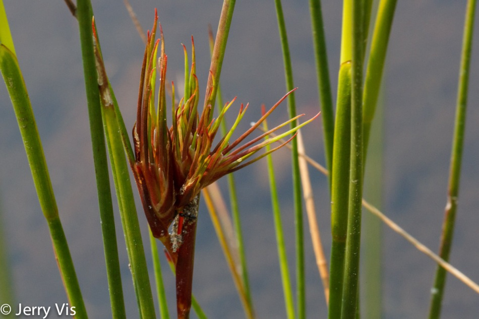 Grass or sedge?