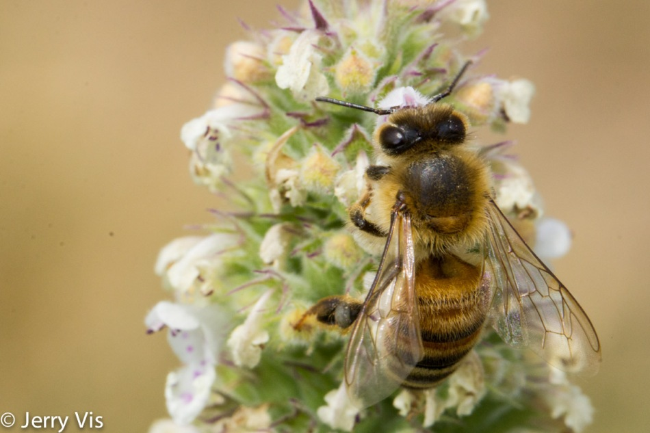 Honeybee on an unidentified horsemint or bergamot?