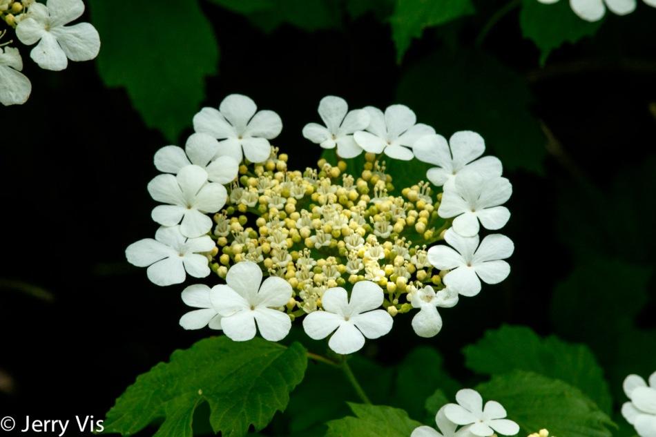 Eldeberry
