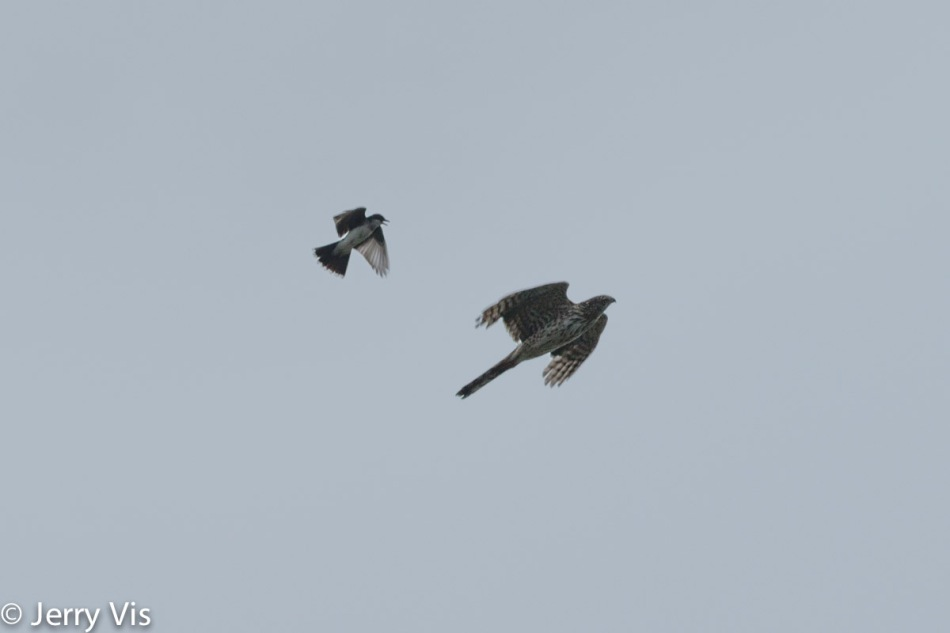 Eastern kingbird attacking a Cooper's hawk